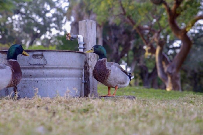 Mallard ducks on Cabbage Key